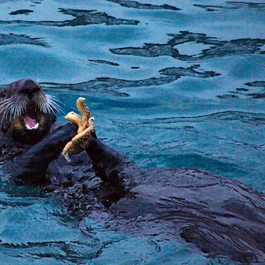 Otter_Eating_Starfish_001