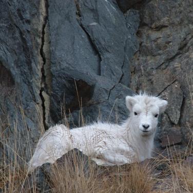 Yearling lamb laying down
