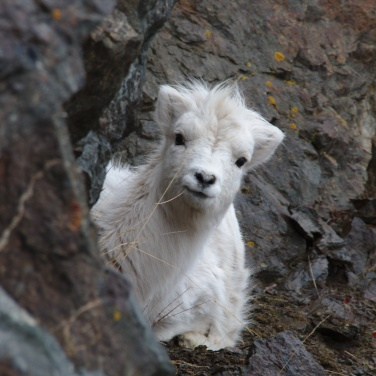 Yearling lamb peeking around the rocks