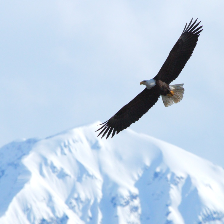 Bald eagle in front of a snowcapped mountain, Turnagain Arm, Cook Inlet, Alaska