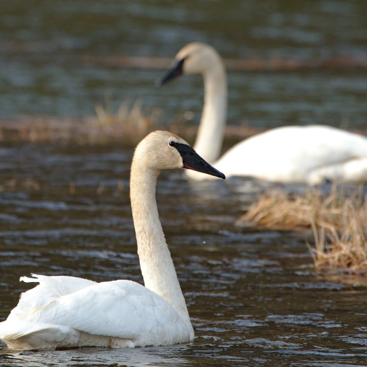 Trumpeter swans in a roadside lake along the Turnagain Arm of Cook Inlet Alaska