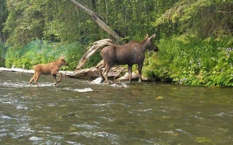 Russian River Moose Cow & Calf