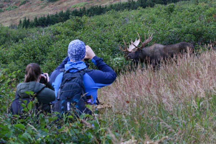 AWA guests watch and photograph an awesome bull moose in a Chugach valleynear Anchorage, Alaska, Fall 2021